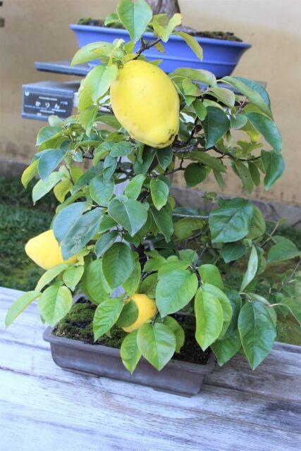カリン,盆栽,育て方,作り方