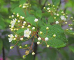 カマツカ,ウシコロシ,盆栽