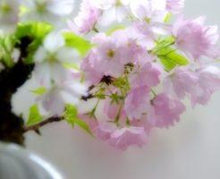 サクラ,盆栽