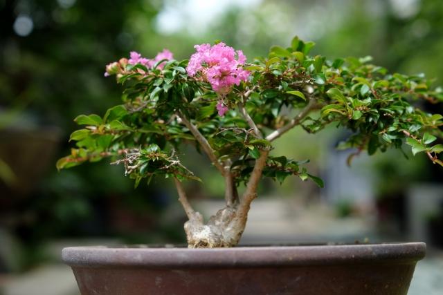 サルスベリ,盆栽