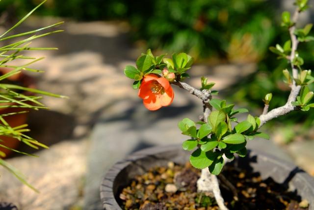 長寿梅,盆栽,育て方,作り方