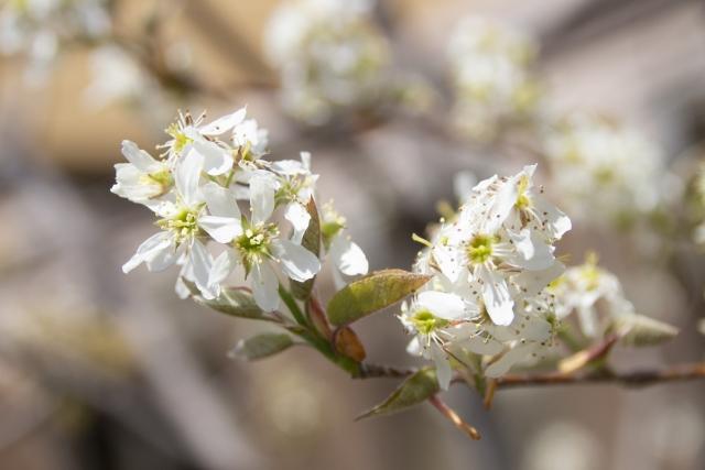 ザイフリボク盆栽の育て方 作り方