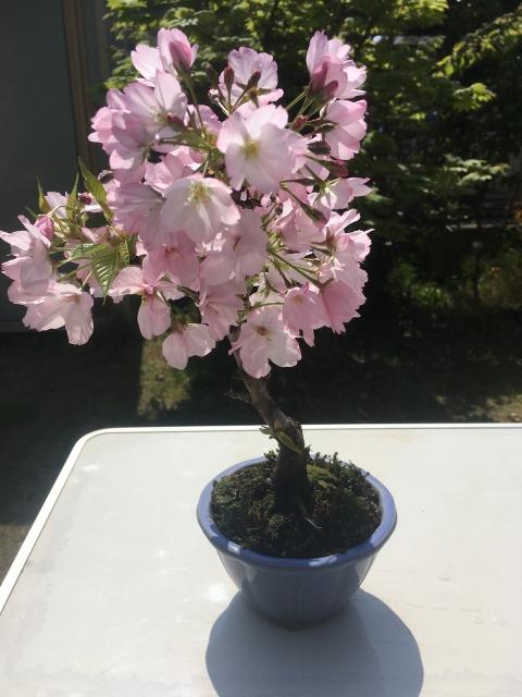 さくらんぼ盆栽の育て方 剪定
