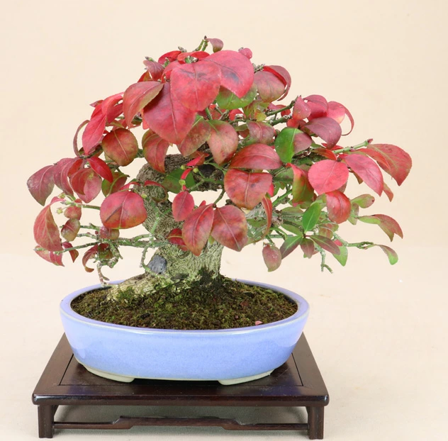 ニシキギ盆栽の育て方